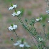 Amour en fleur de damascena de Nigella de brume Photo stock