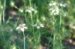 Amour en fleur de damascena de Nigella de brume Photos libres de droits