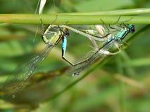 Amour entre la libellule Photo libre de droits