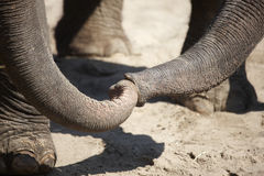 Amour entre les éléphants Photographie stock libre de droits