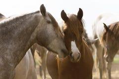 Amour entre les chevaux au coucher du soleil Photo stock