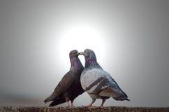 Amour et cour dans les pigeons Image libre de droits