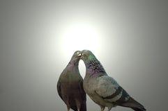 Amour et cour dans les pigeons Photos libres de droits