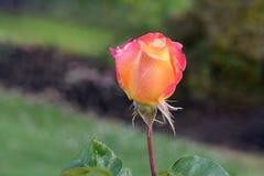 Amour et paix Rosebud 05 Photos libres de droits