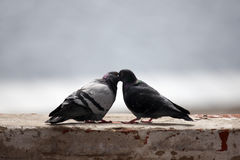 Amour et pigeons Photo stock