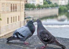 Amour et pigeons Photos libres de droits