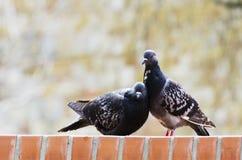 Amour et pigeons Images libres de droits