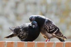 Amour et pigeons Photographie stock libre de droits
