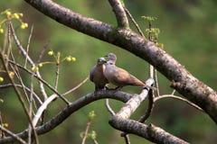Amour faisant des colombes images libres de droits