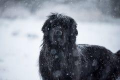 Amour mignon de valentine de Noël de Noël de Santa de chien de Terre-Neuve Photographie stock