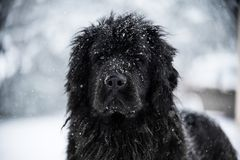 Amour mignon de valentine de Noël de Noël de Santa de chien de Terre-Neuve Image stock