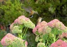 Amour ou haine de colibri ? photo libre de droits
