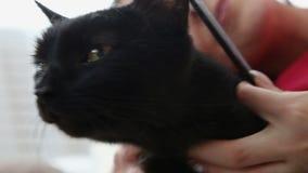 Amour pour des animaux familiers belle brune peignant son chat noir à la maison sur le lit clips vidéos