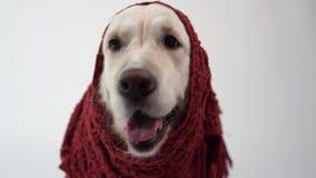 Amour pour des animaux familiers - portrait drôle d'un golden retriever dans une écharpe chaude sur un fond blanc banque de vidéos