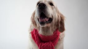 Amour pour des animaux familiers - portrait drôle d'un golden retriever dans une écharpe chaude sur un fond blanc clips vidéos