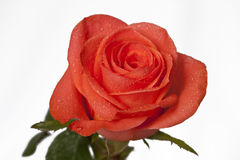 Amour Rose Images stock
