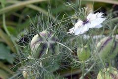 Amour vert dans le bourgeon de brume avec la fleur Photographie stock libre de droits