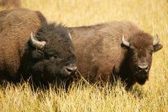 Amoureux de bison Photo libre de droits