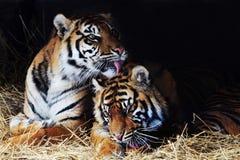 Amoureux de tigre photos stock