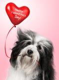 Amoureux Valentine Havanese Photo libre de droits