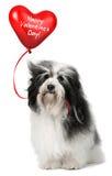 Amoureux Valentine Havanese Images libres de droits