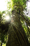 Amozon drzewo Fotografia Stock