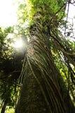 Amozon träd Arkivbild