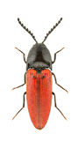 Ampedus rufipennis. Isolated on a white background Stock Images
