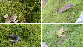 Amphibia toad, frogs and newt triton on moss. Video collage. stock video footage