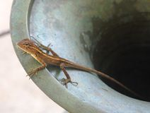 Amphibian. Close up of brown amphibian gecko found in tropical countries Stock Images