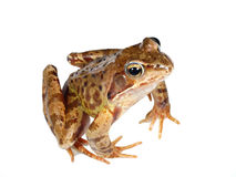 Amphibian. Frog on white background in studio Stock Photography