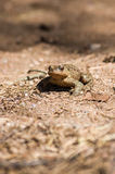 Amphibian at the bottom of a small lake. Royalty Free Stock Photography