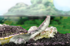 Amphibian exotic animal Chelidae in water Royalty Free Stock Photos