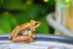 Amphibian, Frog, Ranidae, Toad Stock Photo
