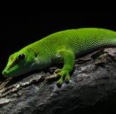 Amphibian Royalty Free Stock Image