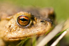 Amphibian portrait common toad Stock Photography