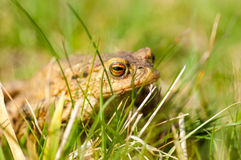 Amphibian portrait common toad Stock Image