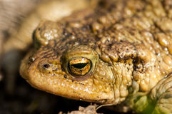 Amphibian portrait common toad Royalty Free Stock Images