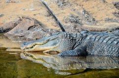 Amphibian Prehistoric Crocodile. Big Brown and Yellow Amphibian Prehistoric Crocodile Stock Image