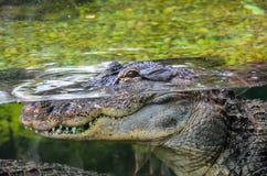 Amphibian Prehistoric Crocodile. Big Brown and Yellow Amphibian Prehistoric Crocodile Stock Photo