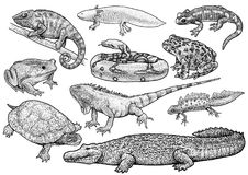 Marine animals collection illustration, drawing, engraving, ink, line art, vectorNautilus shell illustration, drawing, engraving,B. Amphibian and reptiles Royalty Free Stock Image