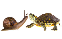 Amphibian turtle and snail love Royalty Free Stock Image