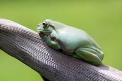 Amphibians, animal, animales, animals,  animalwildlife, crocodile, dumpy, dumpyfrog, face, frog, green, macro, mammals, funy, cute Stock Image