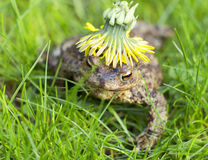 Amphibians common toad Royalty Free Stock Photo
