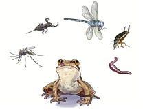 Amphibians feed Stock Photography