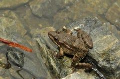 Amphibie animal, grenouille sur une roche Photos libres de droits