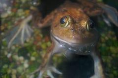 Amphibie de grenouille de Brown dans l'eau Photos libres de droits