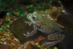 Amphibie de grenouille verte dans l'eau Photos stock