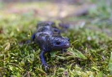 Amphibie marbré de salamandre Images libres de droits