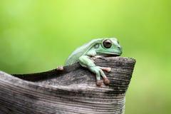 Amphibies, animal, animales, animaux, animalwildlife, crocodile, trapu, dumpyfrog, visage, grenouille, vert, macro, mammifères, f images libres de droits